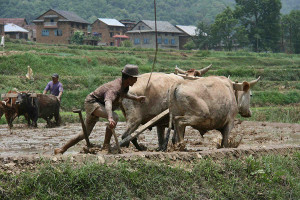Foreign farmer tilling land with a pair of ox